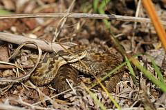Vipera Berus. (ChristianMoss) Tags: adder snake reptile uk vipera berus
