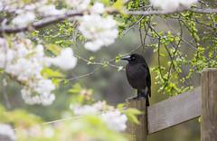 Happenstance (Keith Midson) Tags: currawong spring flowers flower fence bird tasmania australia rural