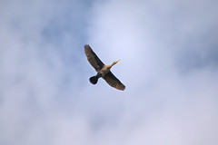 a cormorant in flight (Franck Zumella) Tags: cormorant cormoran oiseau bird black noir sky blue ciel bleu cloud white nuage blanc nature composition fast fly flying vol voler rapide sony a7r a7 tamron 150600