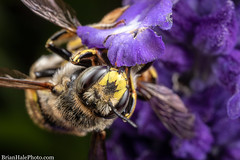 couple of wool carder bees (Brian M Hale) Tags: wool carder bees mating insect apiary outside outdoors nature tower hill botanic botanical garden boylston ma mass massachusetts newengland usa brian hale brianhalephoto