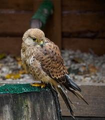 Пустельга (Valentin_Efimov) Tags: nature animal bird birds wild ngc