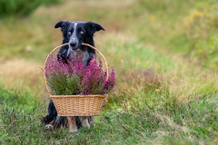 Pick up the flowers (The Papa'razzi of dogs) Tags: flowers dog pet nature basket outdoor hund frisbee bordercollie animal