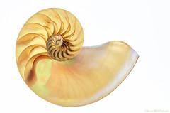 nautilus (sure2talk) Tags: nautilus closeup shell whitebackground onwhite nikond7000 nikkor85mmf35gafsedvrmicro lookingcloseonfriday halfcutnautilus