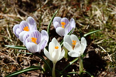 Crocus IMG_1854 (Paul_Paradis) Tags: blossom fleur flora floral flower garden jardin plant plante nature natural printemps spring crocus brillant macro canada quebec iledorleans