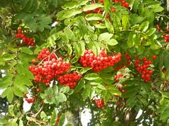 Berries, Nairn, Sep 2019 (allanmaciver) Tags: plenty berries red birds tree colours contrast green close nairn highlands scotland allanamciver