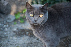 hello kitty (Frau Koriander) Tags: katze kitty fischerhude niedersachsen animal portrait animalportrait cat katzenporträt catportrait nikond750 purr dof depthoffield look fluffy flauschig