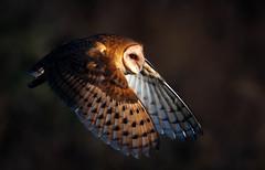 Barn Owl (Thy Photography) Tags: california sunset bird nature animal sunrise photography berkeley backyard outdoor wildlife raptor owl sanfranciscobayarea barnowl sonya9 canon1dx2 sonya7rm4