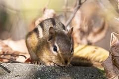 Chipmunk (DFChurch) Tags: chipmunk glenwood wv westvirginia ground squirrel marmotini rodent