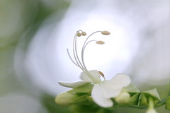 White Clerodendrum Flower in Backlight (Christian Chene Tahiti) Tags: canon 6d paea tahiti polynésiefrançaise contrejour blacklight clerodendron clerodendrum blanc vert jardin fleur flower flor pollen macro flore bokeh pastel smileonsaturday hsos whiteinblacklight