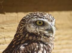 Burrowing owl (MJ Harbey) Tags: bird owl burrowingowl athenecunicularia aves strigiformes strigidae hawkconservancytrust andover hampshire nikon d3300 nikond3300