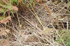 Basking Spot. (ChristianMoss) Tags: adder snake reptile uk vipera berus
