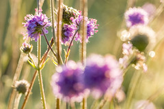Still going strong (tonguedevil) Tags: outdoor outside countryside summer nature field meadow flowers scabious colour light shadows sunlight bokeh