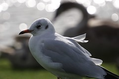 Windswept (tanyalinskey) Tags: sonya6000 october nature animal blackswanshadow bird gull blackheadedgull