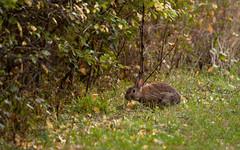 Wildkaninchen 29.9.2019 (rieblinga) Tags: berlin marienfelde wildkaninchen morgens 2992019 wildtiere
