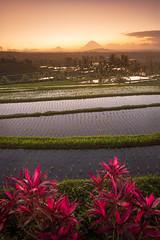 Jatiluwih sunrise (antongalitch) Tags: blue bali indonesia landscape sunrise rice fields terraces unesco jatiluwih