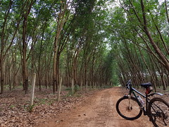 Bike in Rubber Plantation 1 (SierraSunrise) Tags: thailand phonphisai nongkhai isaan esarn plants trees farming agriculture euphorbiaceae hevea rubber latex white bicycle road dirt unpaved