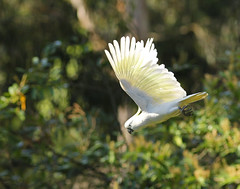 Sulphur Crested Cockatoo (rankenhohn59) Tags: cockatoo wildlife bird woodland nature animal australian native