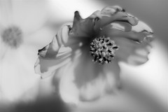 Have a sunny and happy weekend ! (fdlscrmn) Tags: 50mm nikkor cosmos flower bw absoluteblackandwhite