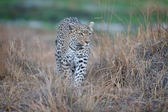 Emerging Leopard (Glatz Nature Photography) Tags: africa nature animal botswana glatznaturephotography khwaicamp wildlife wildanimal nikond850 bigcats okavangodelta khwairiver cub leopard pantherapardus leopardess