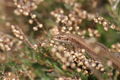 In the heather whatever the weather. (ChristianMoss) Tags: viviparous lizard zootoca vivipara reptile eppingforest common outside