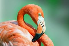 "Caribbean ""Big Bird"" (Jan Nagalski) Tags: bird oiseau flamingo americanflamingo caribbeanflamingo black pink reddishpink portrait phoenicopterusruber nature backgroundblur blur green captiveanimal zoo toledozoo toledo ohio colorful exotic jannagalski jannagal"
