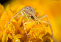 JMC_0183spider1jsm (JayEssEmm) Tags: macro micro spider laowa 25mm berlin massachusetts