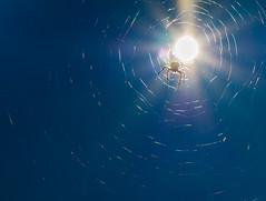 sun spider (stempel*) Tags: pentax k30 gambezia polska poland polen polonia sun spider pająk słońce łączna