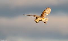 Silent Hunting (Steve (Hooky) Waddingham) Tags: stevenwaddinghamphotography animal countryside coast canon bird british barn owl wild wildlife nature northumberland prey photography planet