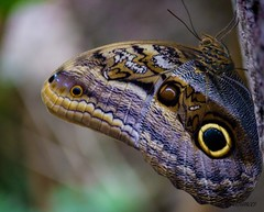 Owl butterfly (ttounces) Tags: owl butterfly ttounces jan details eye comouflage lizardlike appearance scientist study earth gift mexico central america south