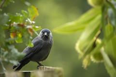 Jackdaw (Benjamin Joseph Andrew) Tags: one lone single individual bird corvid crow autumn staring looking perching stare woodland park