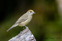 08102019-sDSC_7681 (Eyas Awad) Tags: eyasawad bird birds birdwatching wildlife nature nikon capinera sylviaatricapilla