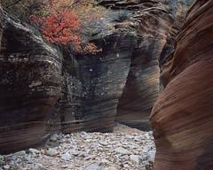 Temporary dry (JaZ99wro) Tags: chamonix045hs1 autumn utah velvia50 tetenal3bathkit lf l050a 4x5 film exif4film tree e6 zion epsonv750 rock largeformat analog usa
