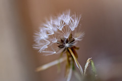 Tiny Wishes (><Nessa><) Tags: dandelion macro waterdrops outside weeds seeds white yellow green ittybitty vanessasbackyard copyrightvanessabartosek