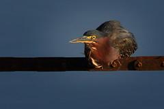 Green Heron (QuakerVille) Tags: jonmarkdavey art