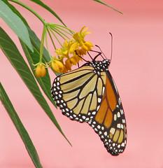 Monarch on milkweed - passing thru this week (Vicki's Nature) Tags: monarch wild butterfly milkweed silkygold yellow blossoms flowers pinkbg yard georgia vickisnature canon s5 2951 return returnabigfave