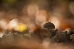 IMG_8365diaplan-105-mmàf-3,5---champi--web (Monique J.) Tags: pleineouverture profondeurdechamp proxy oldlenses objectifancien sousbois champignon bokehlicious bokeh beyondbokeh