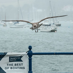 Herrumph..... not today!!! (Patricia Wilden) Tags: flickrexplore ©patriciawilden falmouth cornwall eos70d explore66