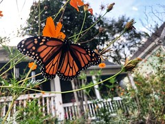 281/365 (moke076) Tags: flowers autumn atlanta orange fall nature ga outside monarch cosmos cabbagetown blooming house color butterfly bug wings dof foraging oneaday mobile project cellphone cell photoaday 365 iphone 2019 project365 365project