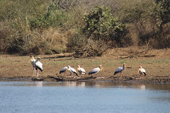 Storks at the waters edge (Rckr88) Tags: krugernationalpark southafrica kruger national park south africa storks waters edge storksatthewatersedge bird birds water dam dams lake lakes nature naturalworld outdoors wilderness wildlife