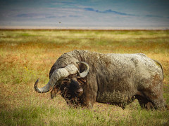 NGORONGORO CAPE BUFFALO (eliewolfphotography) Tags: explore capebuffalo buffalo animals africa wildlife wildlifephotographer wildlifephotography nature naturelovers nikon naturephotography natgeo naturephotographer natgeowild conservation conservationphotography