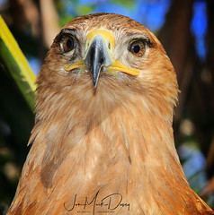 Tawny Eagle - Birds & Exotics - Luis Carballo (QuakerVille) Tags: jonmarkdavey art tawnyeaglebirdsexoticsluiscarballo