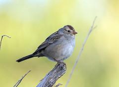 White-Crowned Sparrow (Ed Sivon) Tags: america canon nature lasvegas wildlife western wild southwest desert clarkcounty vegas flickr bird black henderson nevada preserve