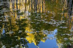 Reflection (Squirrel Girl cbk) Tags: 2019 colorado october aspen coloredleaves colorful floating golden leaves pond quakingaspen reflection upsidedown somerset unitedstatesofamerica