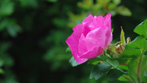 It's Always a Pleasure to See a Rose in the Pink of Condition!