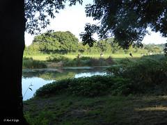 Sunny water meadow (mark.griffin52) Tags: england dorset sturminsternewton riverstour farmland farm grazing cows cattle watermeadow meadow trees river landscape