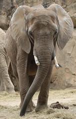 african elephant Duisburg 094A2210 (j.a.kok) Tags: animal africa afrika africanelephant afrikaanseolifant duisburg mammal zoogdier dier olifant elephant