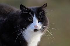 BobKatt oktober 2019 (KvikneFoto) Tags: katt cat bobkatt bokeh tamron nikon