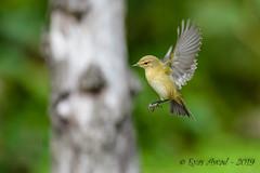 08102019-sDSC_7696 (Eyas Awad) Tags: eyasawad bird birds birdwatching wildlife nature nikon luìpiccolo phylloscopuscollybita