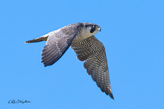 Peregrine Falcon in Flight -2 (Philip Magallanes) Tags: birds peregrinefalcon animals bird wildlife