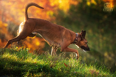 Picture of the Day (Keshet Kennels & Rescue) Tags: adoption dog dogs canine ottawa ontario canada keshet large breed animal animals kennel rescue pet pets field nature autumn fall photography belgian malinois mix stalk sunlight sunbeam rays light hillside hill slope grass vibrant sneak stealth